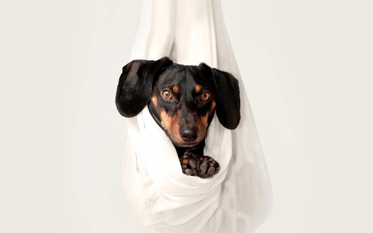 Quarantäne Corona Hund